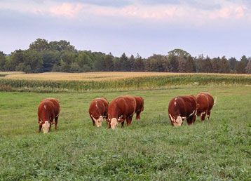 Hagemann Beef Hereford beef cattle grazing